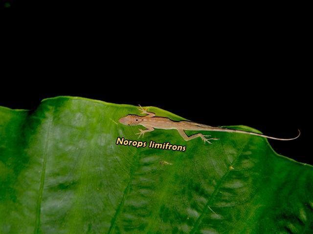 norops limifrons