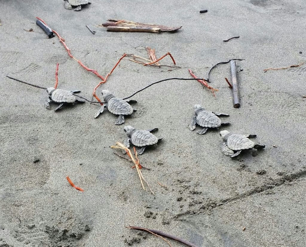 First turtle hatchlings crawl toward the ocean