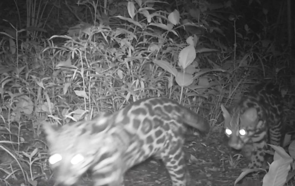 Little ocelots