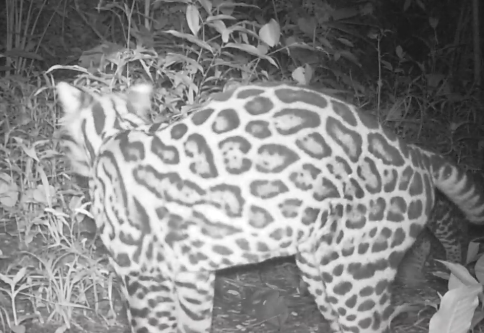 Ocelots at Reserva Playa Tortuga