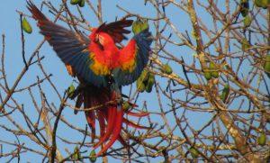 Macaw, Scarlett