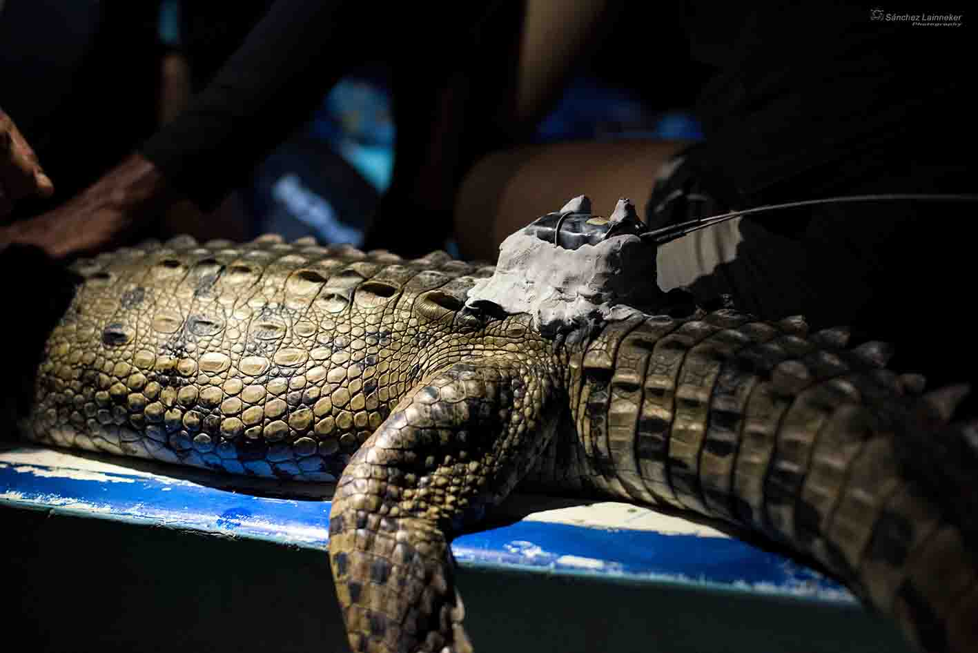 3 GPS loggers were set up in 2 crocs and 1 caiman
