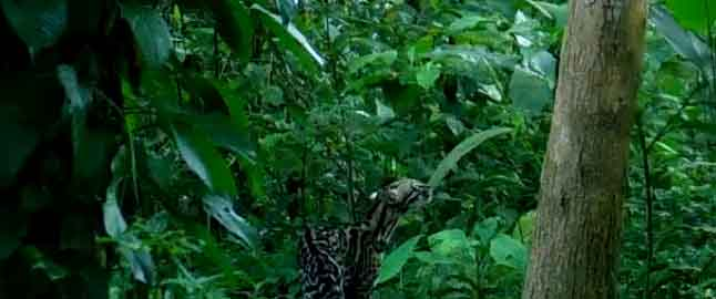 Ocelots will be studied by intern from Netherlands