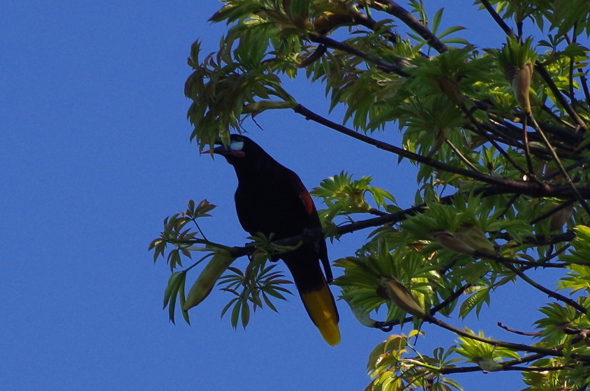 Distribution of Toucans, Aracaris and Oropendolas in Ojochal and Playa Tortuga