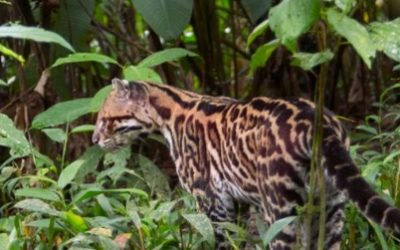 Effect of habitat fragmentation by properties on the Costa Rican mammal diversity and abundance