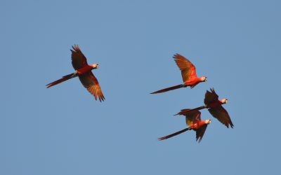 What is the trigger for macaws to visit Ojochal and the surroundings of the reserve?