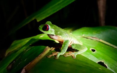 Study is showing some interesting facts about the red-eye tree frog