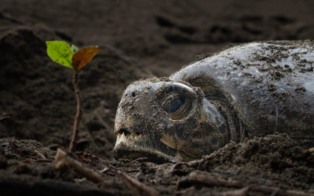RPT staff got a first nesting record of a Pacific Green Turtle (Chelonia mydas) in Playa Hermosa!