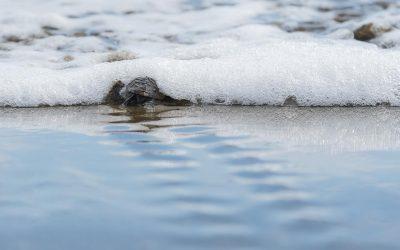 First record of Hawksbill Turtles at Playa Hermosa, Uvita